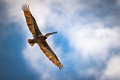 Brown pelican in flight samana dominican republic Royalty Free Stock Photography