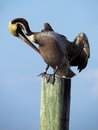 Brown pelican harbor islamorada keys florida Royalty Free Stock Photos