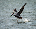 Brown Pelican Landing on Bay Royalty Free Stock Photo
