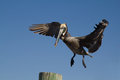 Brown pelican landing on a harbour pole in with blue sky background Stock Images