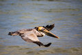 Brown pelican landing in ocean sanibel island florida Royalty Free Stock Photo