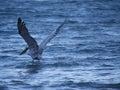 Brown pelican landing in water fishing the ocean Stock Photography