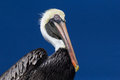 Brown pelican a latin pelecanus occidentalis against a blue sky Royalty Free Stock Photos