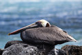 Brown pelican a latin pelecanus occidentalis sitting on a rocky shore Royalty Free Stock Photos