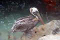 The brown pelican pelecanus occidentalis aruba Royalty Free Stock Image