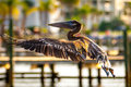 Brown pelican pelecanus occidentalis in flight in florida Royalty Free Stock Photo