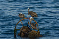 Brown pelican pelecanus occidentalis pelicans relaxing after a meal Royalty Free Stock Image