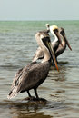 Brown pelican pelecanus occidentalis standing on rocks in the back bay Royalty Free Stock Photography