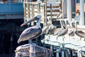 Brown pelican pelicans on monterey pier Royalty Free Stock Photos