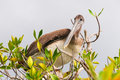 Brown pelican perching high in a shrub Royalty Free Stock Image