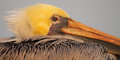 Brown pelican portrait a of a watching the sun rise along the coast of california Stock Images