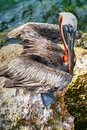 Brown pelican poses a beautiful young in hopes of receiving your left over fish at the bait station at sebastian inlet jetty Stock Photo