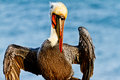Brown pelican posing a in la jolla california during mating season Royalty Free Stock Image
