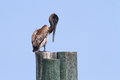 Brown Pelican on post in USA Stock Images