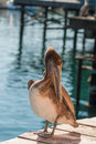 Brown Pelican Preening Royalty Free Stock Photo