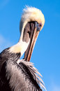 Brown pelican preening in the early morning light selective focus clear blue sky space for copy Stock Image