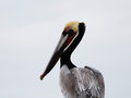 Brown Pelican Profile Royalty Free Stock Photo