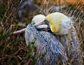 Brown Pelican at Rest, California Royalty Free Stock Photo