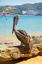 Brown pelican rests in the beach Stock Image