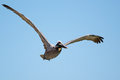 Brown pelican soaring through the air at johns pass madeira beach florida Royalty Free Stock Image
