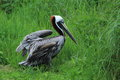 Brown pelican the strolling in the grass Royalty Free Stock Photo