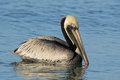 Brown Pelican Swimming in the Ocean Royalty Free Stock Photography