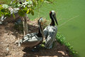 Brown pelican two by water Stock Photos