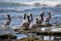 Brown pelicans in Costa Rica Royalty Free Stock Images