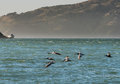 Brown Pelicans Flying Over Pacific Ocean in San Francisco Bay with hills and Boat in the background Royalty Free Stock Photo