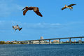 Brown pelicans flying over sand key in florida usa Royalty Free Stock Image