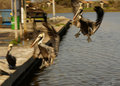 Brown pelicans landing Stock Image