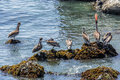 Brown pelicans pelecanus occidentalis perched on a rock with kelp and sea weed ready to fly away the rugged big sur coastline Royalty Free Stock Image