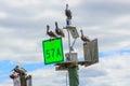 Brown Pelicans sitting on Coastal Water Navigation Markers