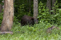 Brown phase black bear in a forest setting Royalty Free Stock Image