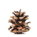 Brown pine cone isolated on a white background Royalty Free Stock Photos