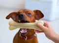 Hnedý pinč pes kosť