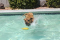Brown pitbull belly flopping for his toy a does a flop in the pool to get Royalty Free Stock Photo