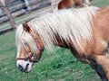 Brown pony in field side view of long haired Royalty Free Stock Photography