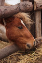Brown pony head closeup on farm Royalty Free Stock Image