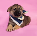 Brown puppy in blue bandanna lying on pink background Royalty Free Stock Images