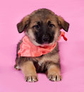 Brown puppy in orange bandanna lying on pink background Royalty Free Stock Photo