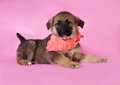 Brown puppy in orange bandanna lying on pink background Royalty Free Stock Photos