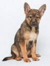 Brown puppy sitting on white background isolated Stock Image
