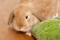 Brown rabbit Royalty Free Stock Photos