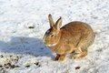 Brown rabbit at the farm Royalty Free Stock Images