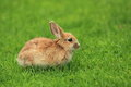 Brown rabbit the young lying in the grass Stock Image
