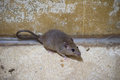Brown rat in mortar Tubs Royalty Free Stock Photo