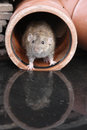 Brown rat rattus norvegicus by water Stock Photo