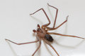 Brown recluse spider on a white background Stock Photos