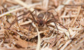 Brown recluse a venomous spider in dry winter grass Royalty Free Stock Photos